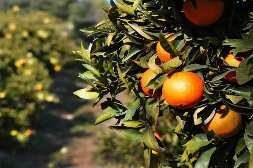 Análises foliares em citrinos