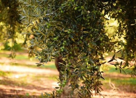 Análises foliares em olivais