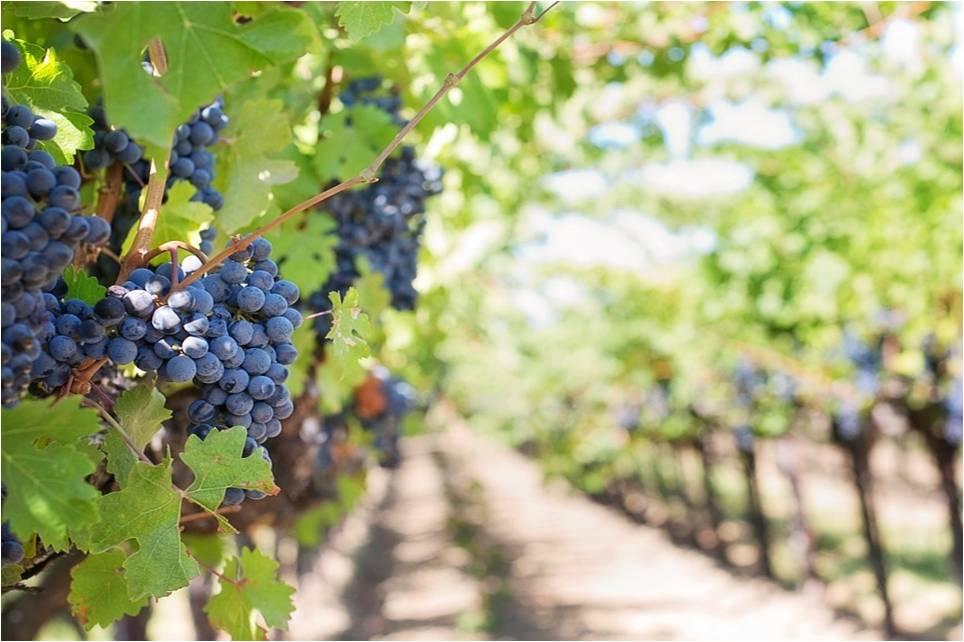 Campanha análises foliares em vinha
